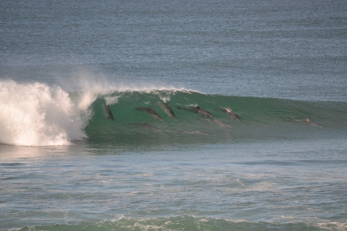 Dolphins surfing at Middle Rock, Lake Cathie.