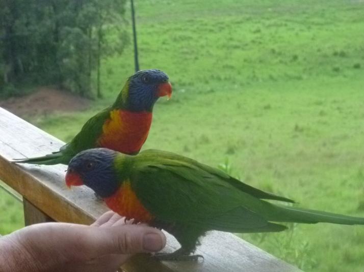 Feeding the Rainbow Lorikeets
